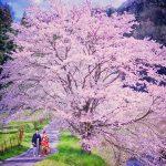 桜の時期の撮影